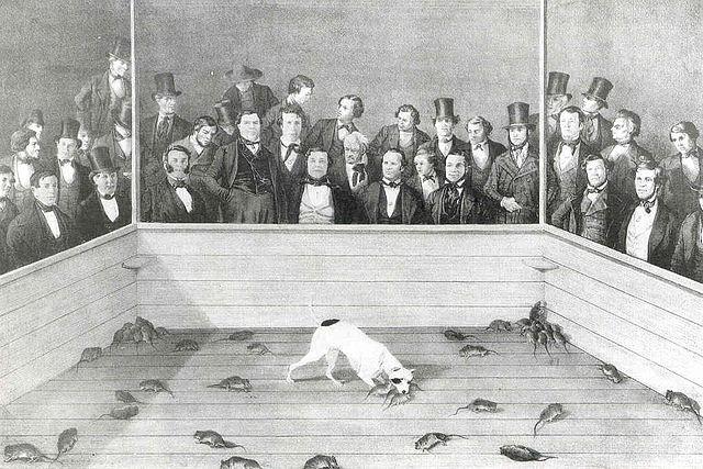 640px-Rat-baiting6