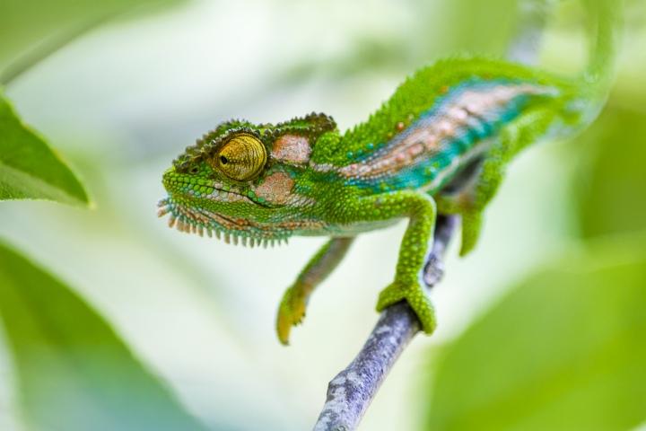chameleons_201321