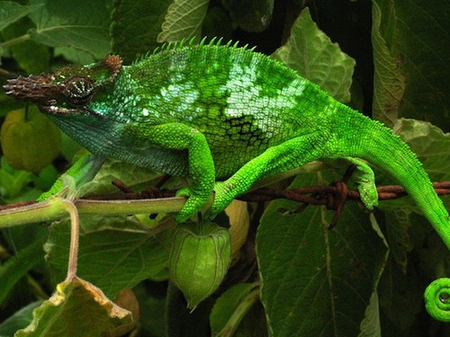 fischers-chameleon-for-sale