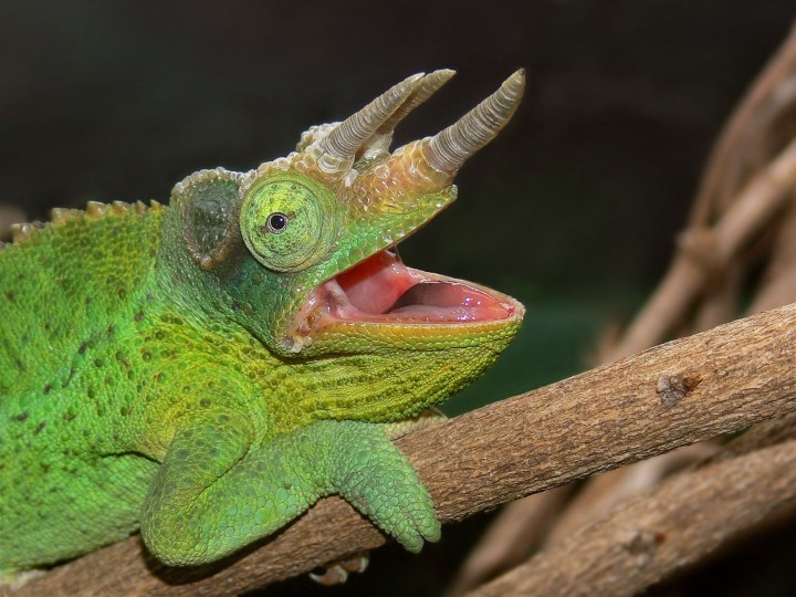 Jackson's_Chameleon444