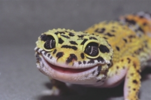 smiling leopard gecko copy
