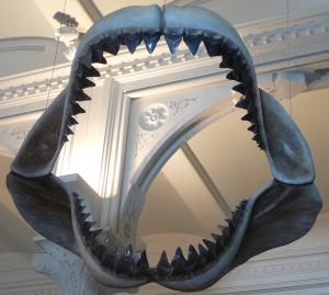 Megalodon_shark_jaws_museum_of_natural_history_068