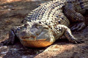 800px-Crocodylus_mindorensis_by_Gregg_Yan_01