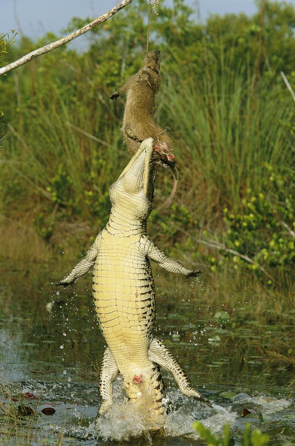 a-cuban-crocodile-leaps-from-water-steve-winter