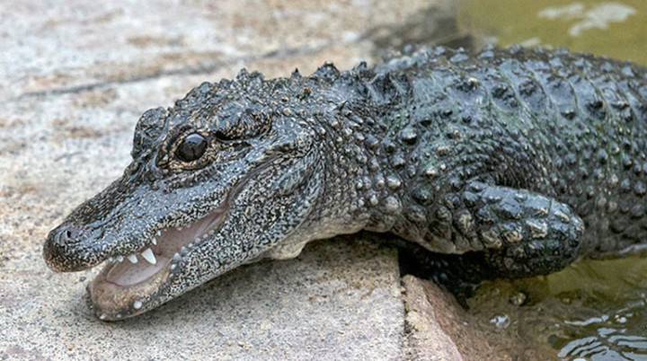 chinese_alligator