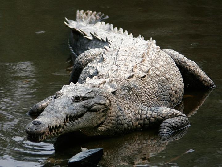 merican croc