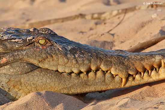 Orinoco_Crocodile_MG_7193